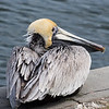 Brown Pelican, St. Petersburg