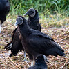 Black Vultures, Circle B Bar Reserve