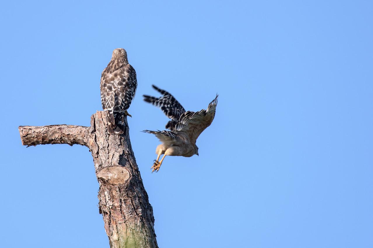 Hawk_800mm-6