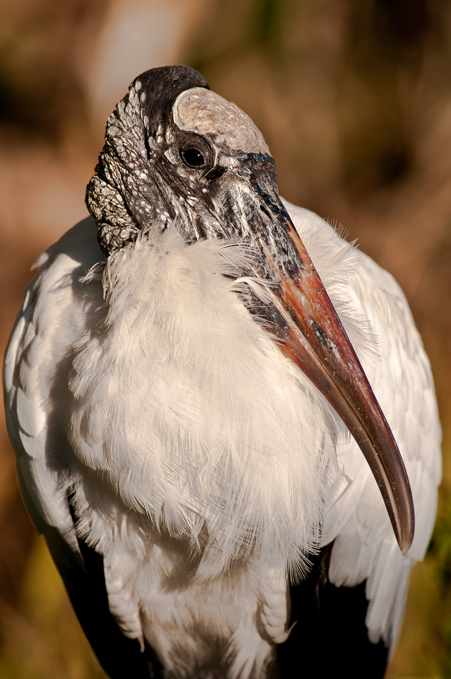 Wood_Stork-29