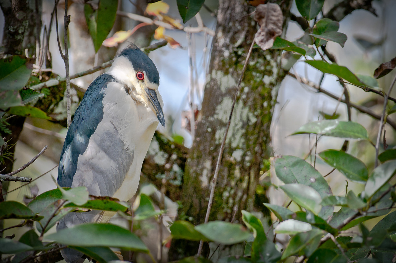 Black_Crowned_Night_Heron-26