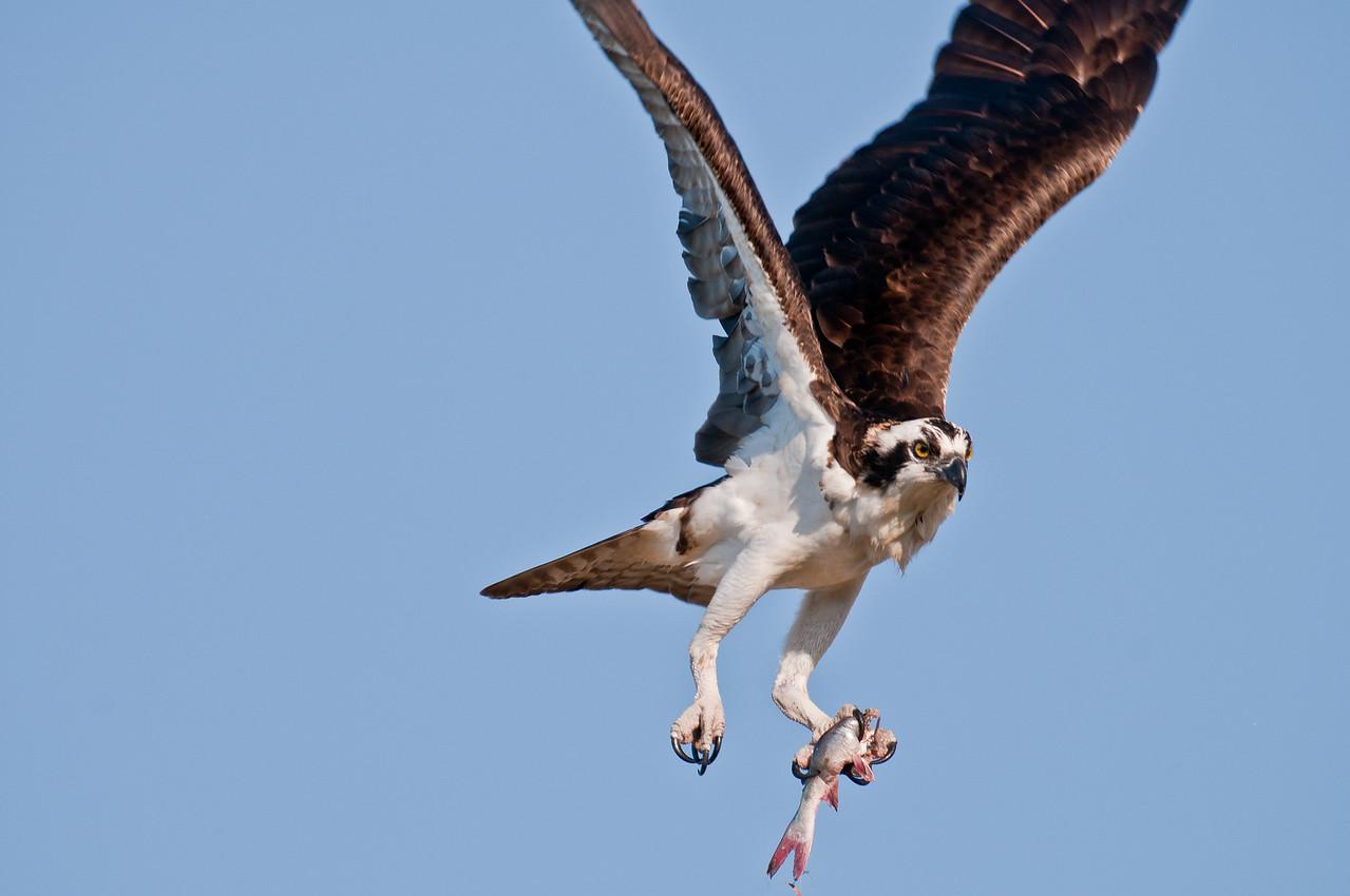 Osprey_2-24