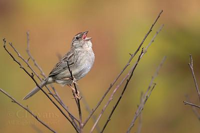 Bachman's Sparrows