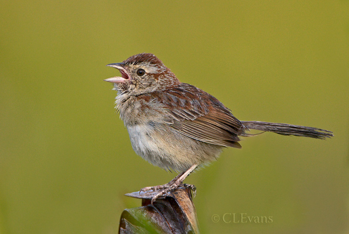 Bachman's Sparrow Singing (Kissimmee Prairie Preserve)