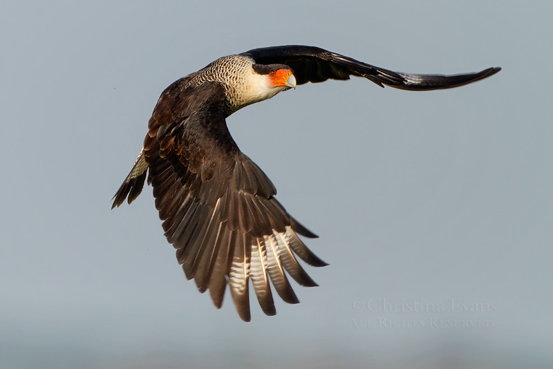 Crested Caracara in flight (Kissimmee Prairie Preserve)