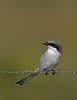 Loggerhead Shrike (Kissimmee Prairie Preserve)