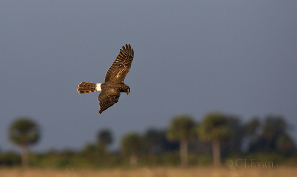 Northern Harrier (Okeechobee County)
