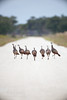 "Wild turkeys in a ""v-formation"". ;-) (Kissimmee Prairie Preserve)"