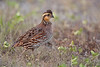 Northern Bobwhite (female) (Kissimmee Prairie Preserve)