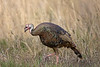 Wild Turkey - Florida Osecola Subspecies (Kissimmee Prairie)