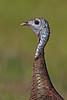 Wild Turkey, Florida Osceola Subspecies - (Meleagris gallopavo osceola), (Kissimmee Prairie)