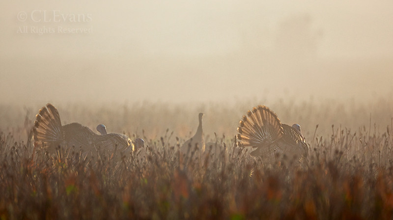 Wild Turkeys displaying in the early morning mist (Kissimmee Prairie Preserve)<br /> <br /> Recent prescribed burn area -- very popular with wildlife.