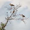 Juvenile White Ibis (Kissimmee Prairie Preserve)