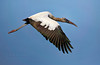 Wood Stork in flight (Kissimmee Prairie Preserve)