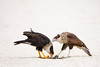 Two Crested Caracaras, an adult and a juvenile, on white shell road scavenging armadillo. (Kissimmee Prairie Preserve)