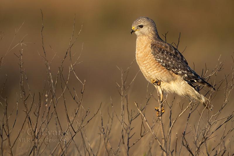 Red-shouldered Hawk (Kissimmee Prairie)