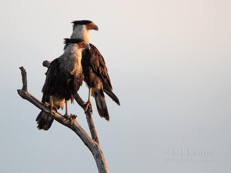 Crested Caracara Pair (ah) (Kissimmee Prairie)