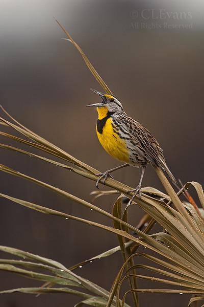 Eastern Meadowlark singing in recent burned area after rain (Kissimmee Prairie Preserve)
