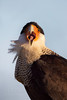 Crested Caracara open bill (Kissimmee Prairie)