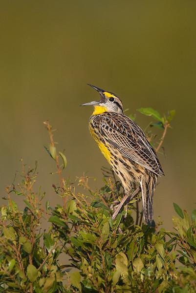 Eastern Meadowlark singing (KPPSP)