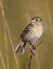 Florida Grasshopper Sparrow (Ammodramus savannarum floridanus) -- male