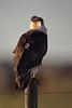 Crested Caracara (Kissimmee Prairie Preserve)