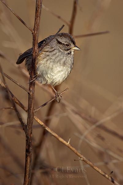 Swamp Sparrow (Kissimmee Prairie Preserve)