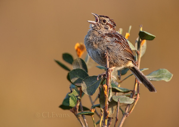Bachman's Sparrow singing on Rusty Lyonia perch (Kissimmee Prairie Preserve)
