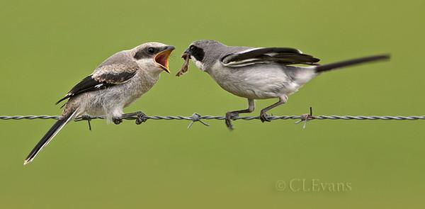 Loggerhead Shrike feeding its fledgling (Kissimmee Prairie)