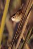 Marsh Wren (Kissimmee Prairie)