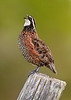 Male Northern Bobwhite singing (Kissimmee Prairie Preserve)