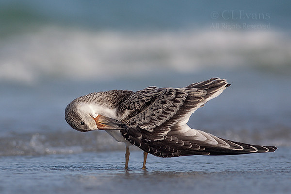 Juvenile Black Skimmer preening -- Cropped version
