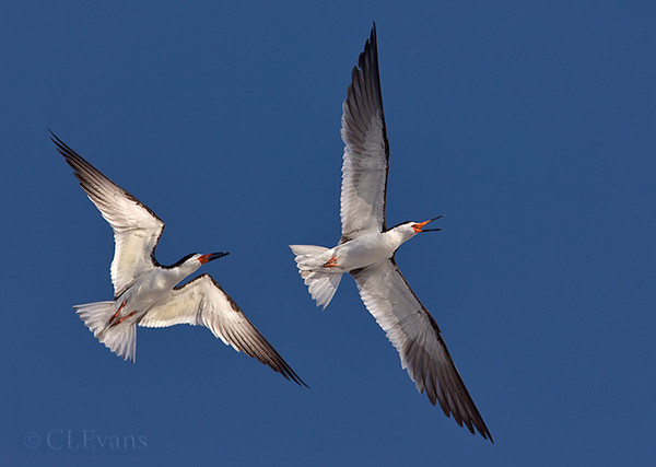 Black Skimmer Air Show (Indian Shores)