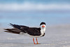 Black Skimmer, disappearing beak (Redington Shores)