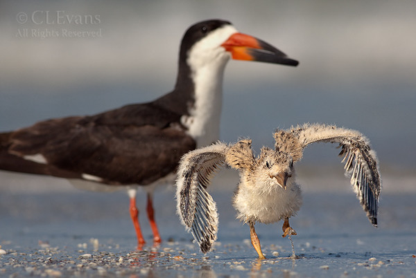 Black Skimmer chick with parental guidance (Pinellas County)