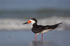 Black Skimmer (Indian Shores)