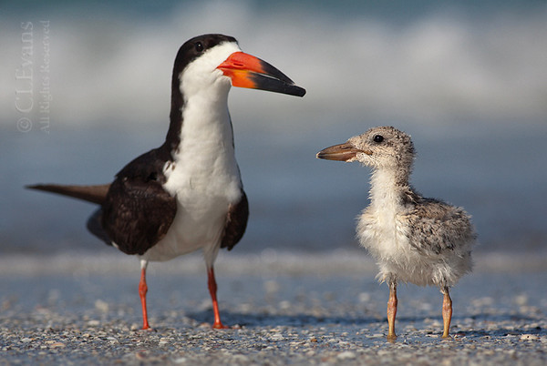 Black skimmer, adult and chick (Indian Shores)