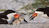 Black Skimmers and Chicks (Indian Shores)