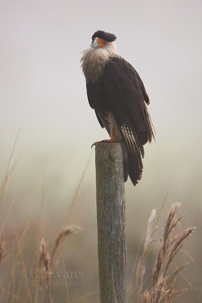 Crested Caracara in fog (Kissimmee Prairie)