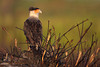 Crested Caracara on burned palmetto mound (Kissimmee Prairie Preserve)