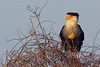 Crested Caracara (Kissimmee Prairie Preserve) (horizontal version)