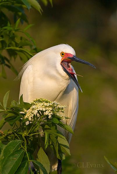 Snowy Egret  (St. Augustine, Alligator Farm)