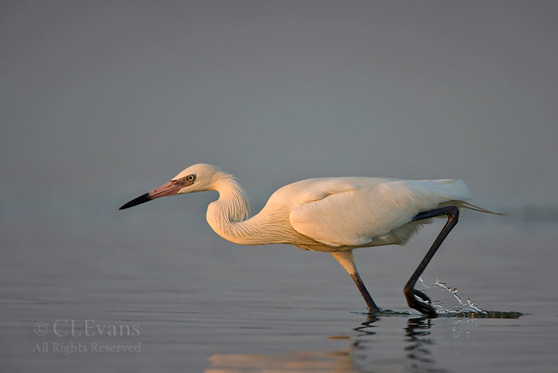 Reddish Egret, White Morph in motion (St. Petersburg)
