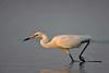 Reddish Egret, White Morph in motion (St. Petersburg)
