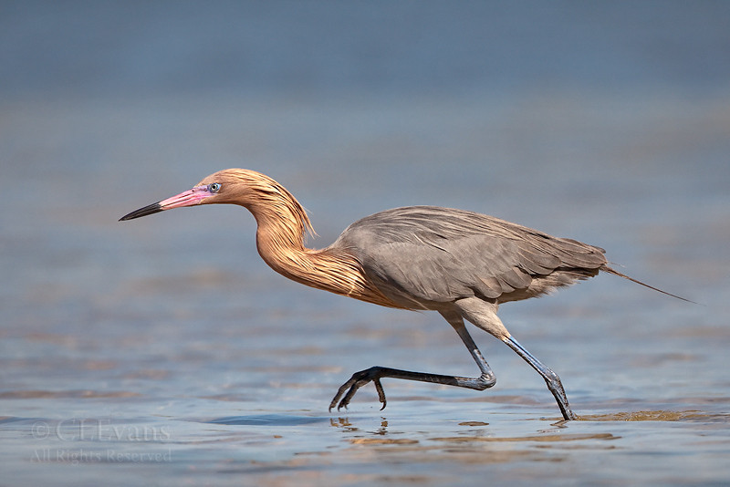Reddish Egret on the run (St. Petersburg)