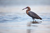 Reddish Egret (St. Petersburg)