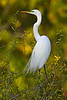 Great Egret, breeding plumage (Venice Rookery)