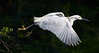 Snowy Egret (St. Augustine Alligator Farm)