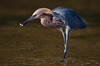 Reddish Egret with small fish (St. Petersburg)