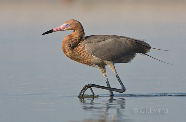 Reddish Egret (Ft. De Soto Park, St. Petersburg)